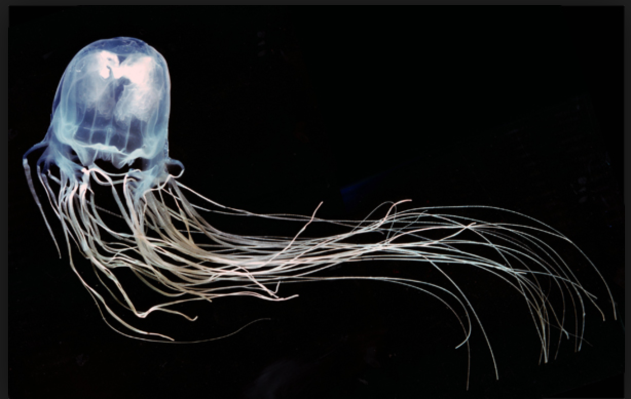 Box jellyfish -