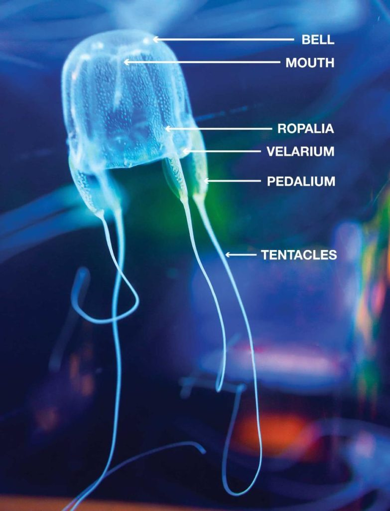 box-jellyfish-anatomy