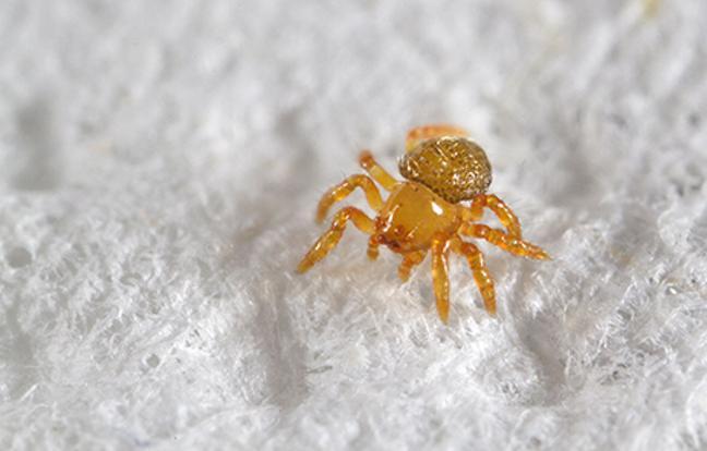 silkhenge-spider